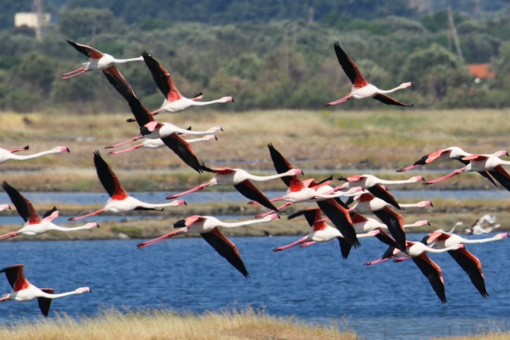 flamingos-in-lesbos-mygreecemytravels-com